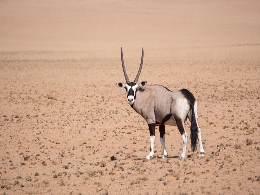 22_Oryx