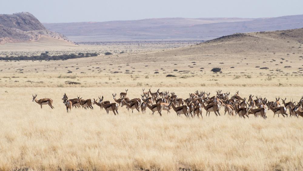25_Springbock-Herde