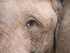 39_Elefantenauge