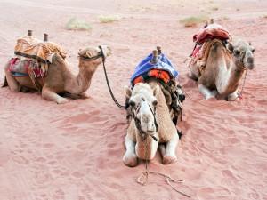 41_Rastende-Kamele