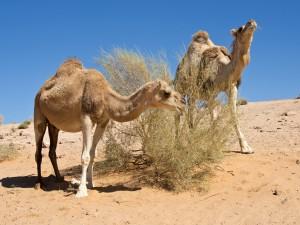 42_Kamele-beim-Fressen