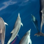 fleckendelfine, oceano 5